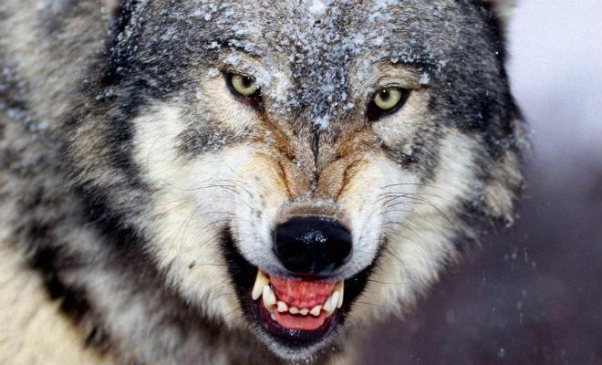 Волк хозяйничает на территории размером с город. Карта передвижения