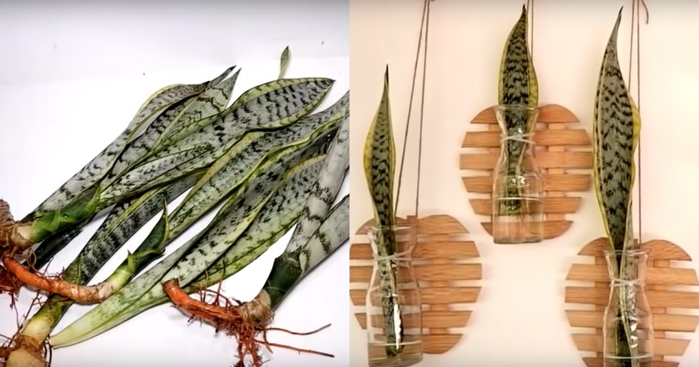 Положите листья сансевиерии в бутылку для шикарного результата