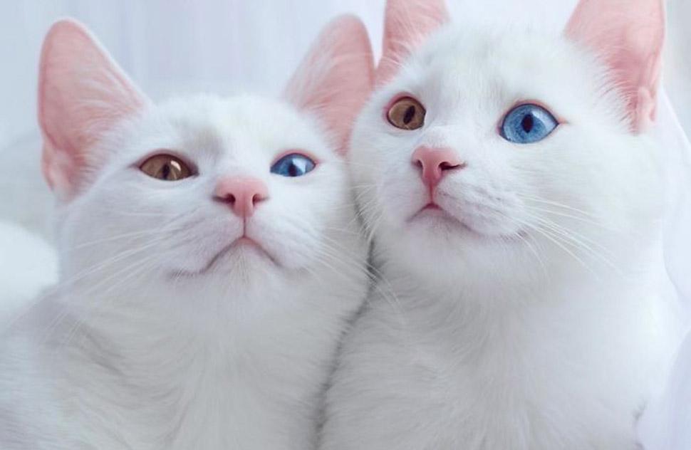 Познакомьтесь, самые красивые в мире кошки-близнецы с разноцветными глазами