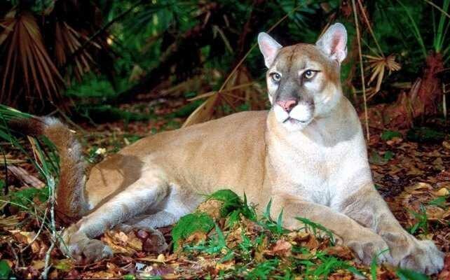Очень редкие животные: Флоридская пума (Puma concolor coryi) дикая природа, животные, красная книга, редкие животные