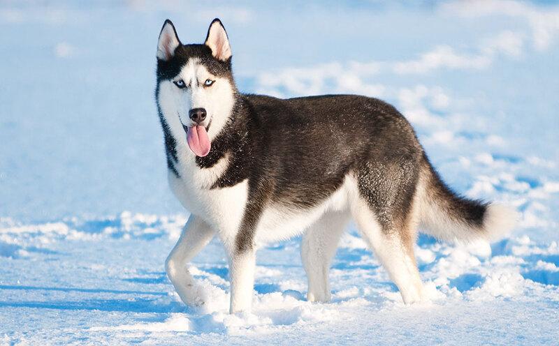 Не друзья человека: 10 пород собак, которым не место в доме домашние животные,наши любимцы