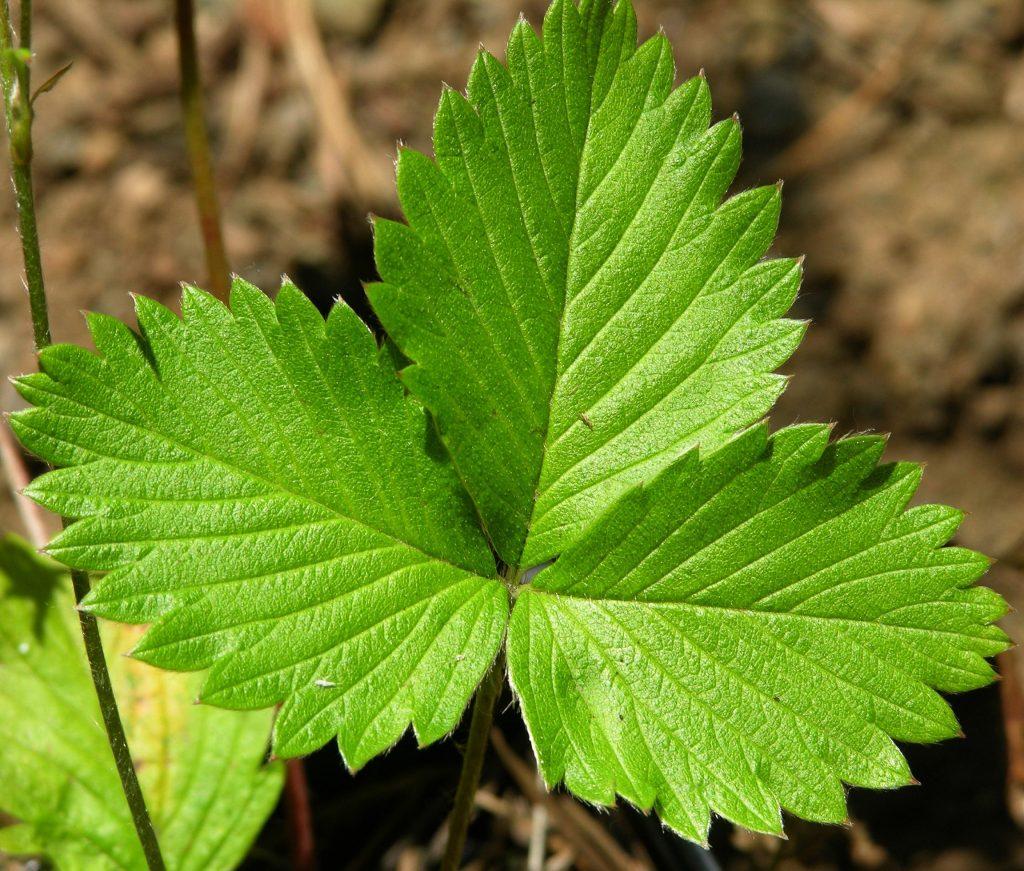 Целебный лист клубничный