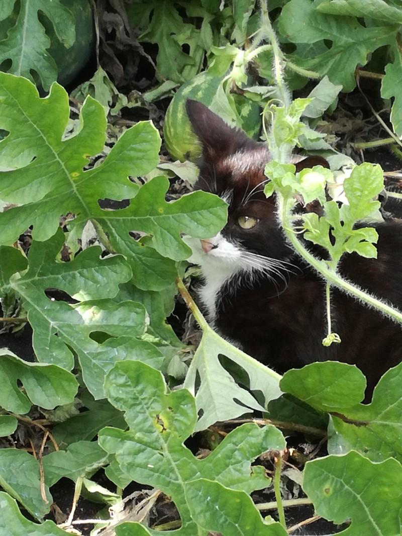 Бахча в Подмосковье, или как я арбузы на тыкву прививал еда, коты, своими руками