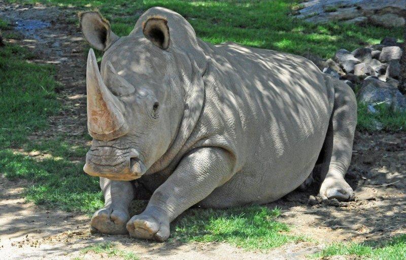 Северный белый носорог вымерли, животные, топ10
