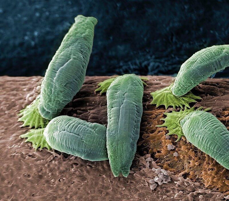 Паразит Gyrodactylus salaris жизнь, интересно, под микроскопом, познавательно, фотограф