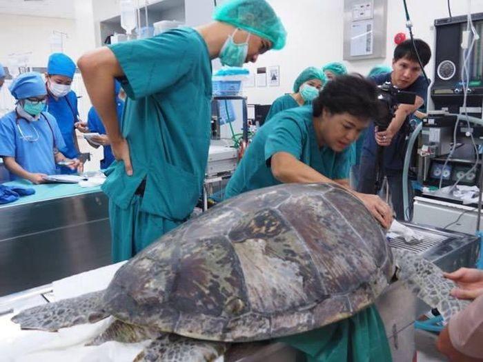 В Таиланде спасли черепаху, достав из ее желудка 915 монет