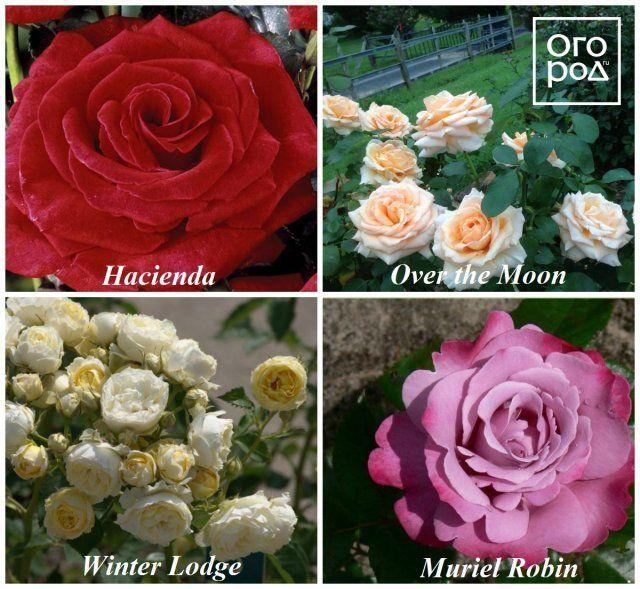 Розы Орар