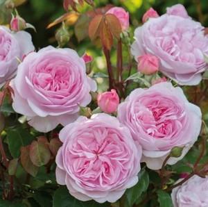 Как ухаживать за пионовидной розой