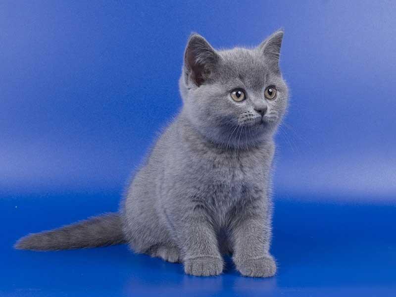 оболочка британская кошка фото котенок знаю, что