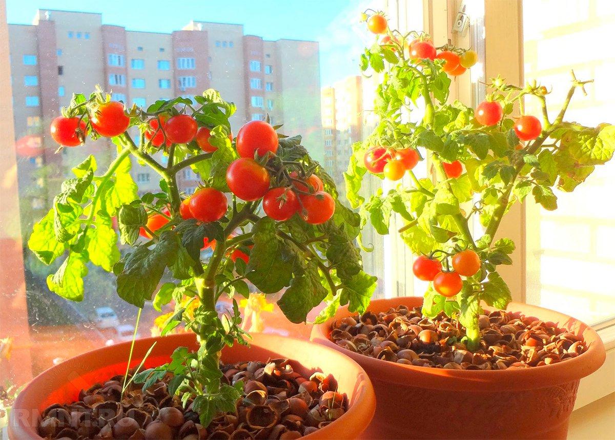 Как выращивать томаты зимой в домашних условиях?