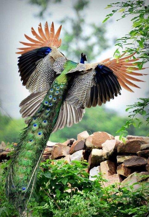 Павлин великолепие, животные, интересное, красота, полет, птицы, факты