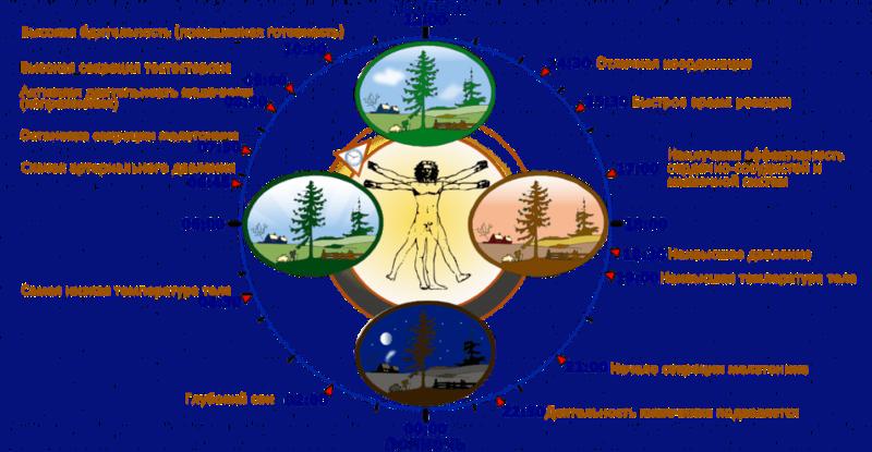 Часы работы Вашего организма: что важно знать