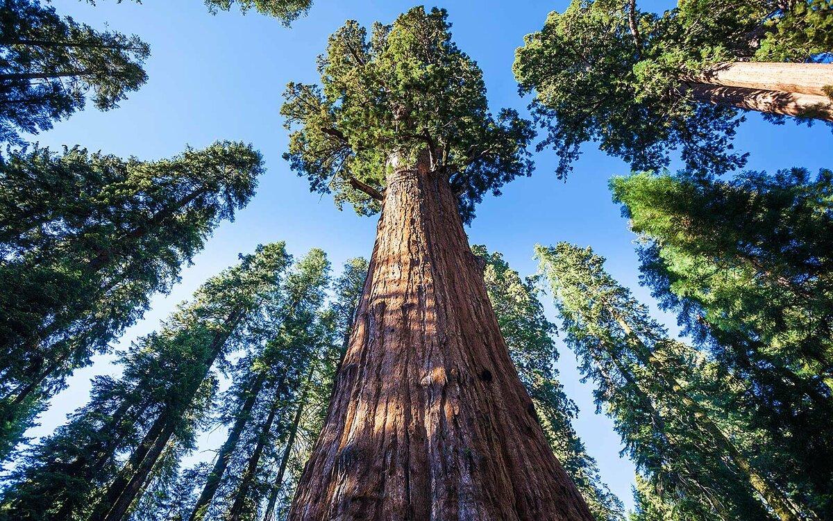 """""""Только из одного такого дерева можно построить большую деревню"""" - интересные факты о секвойи"""