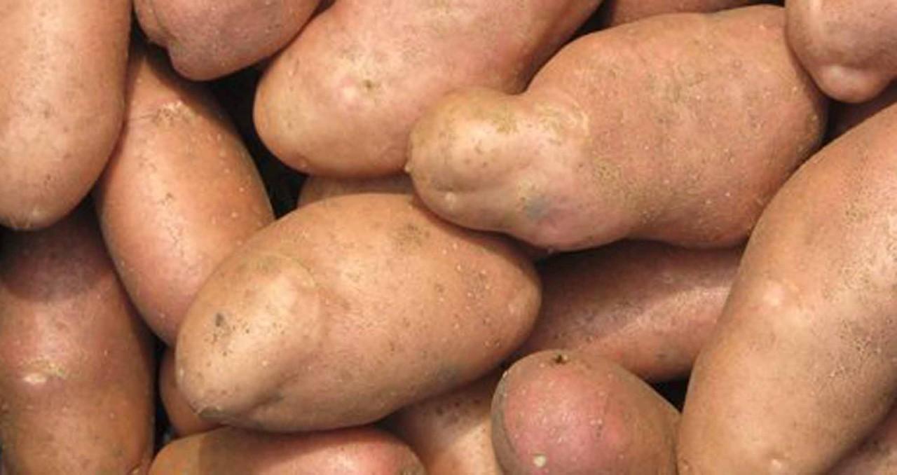 7 простых правил: если их соблюдать всегда получите отличный урожай картофеля