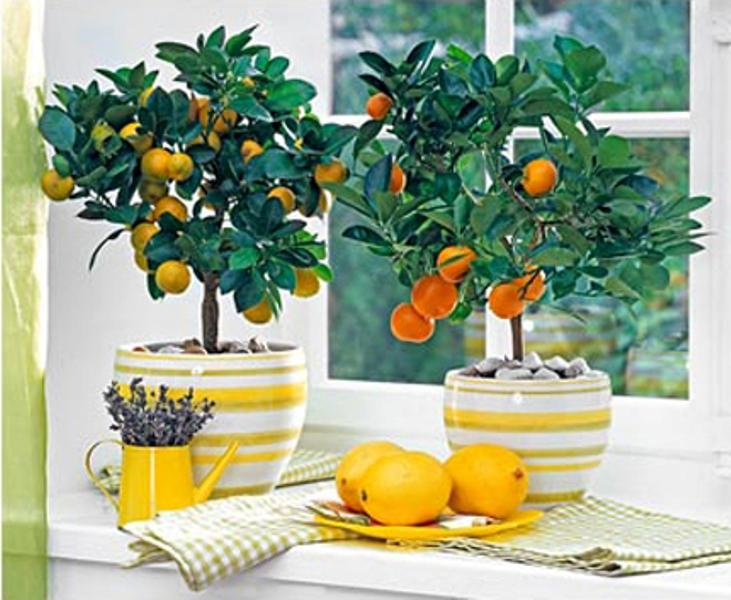 ароматные комнатные растения.