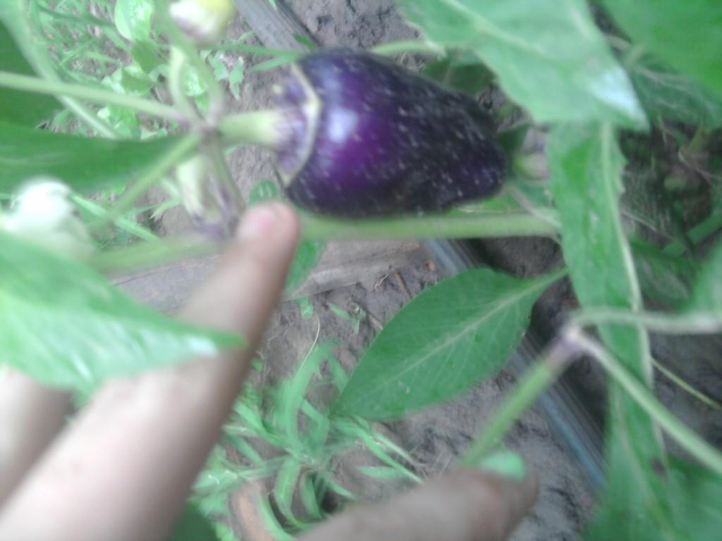 Что это перец или баклажан?(цвет баклажана и запах,но на вкус перец)оставьте коменты :как вы думаете что это это за овощь