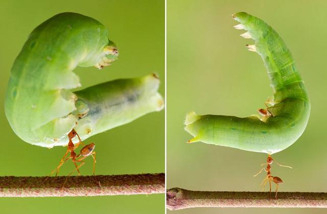 Муравей в одиночку поднял огромную гусеницу