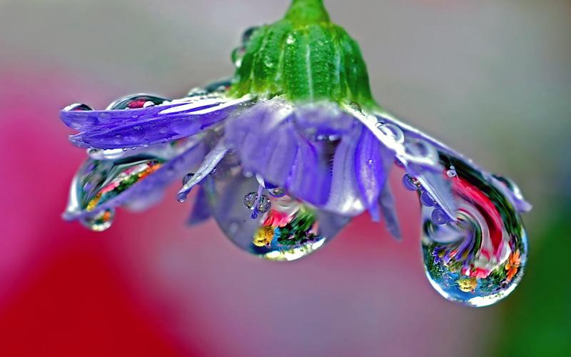 Фото Сиреневый цветок с капельками росы