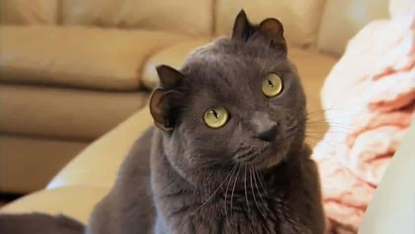кот с четырьмя ушами