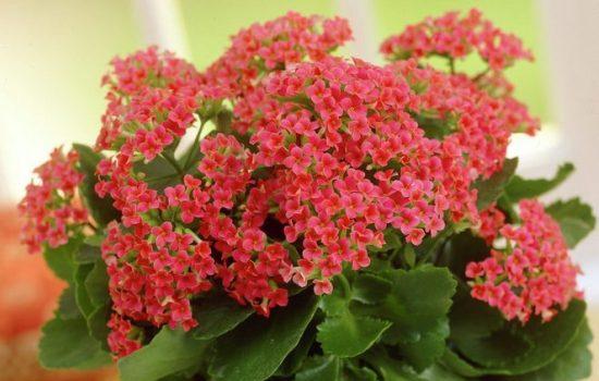 Как ухаживать за комнатным каланхоэ, чтобы вырастить цветок с крупными листьями: особенности полива. Почему не цветет каланхоэ?