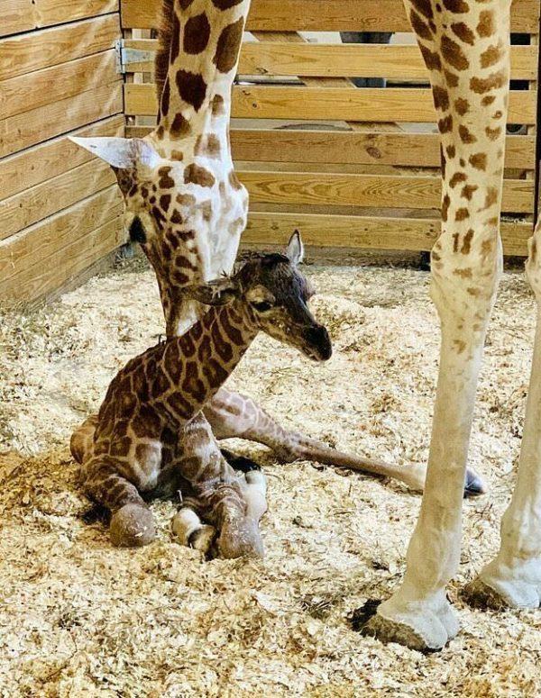 Рожающая жирафиха стала звез…