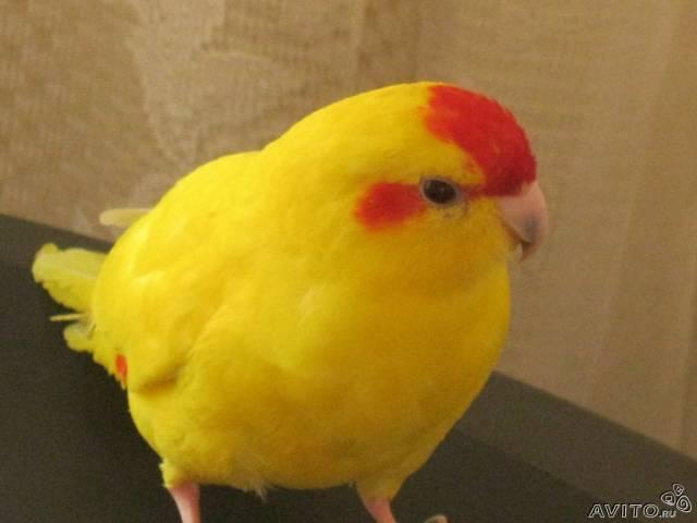 Продам попугая (какарик) 2500руб.