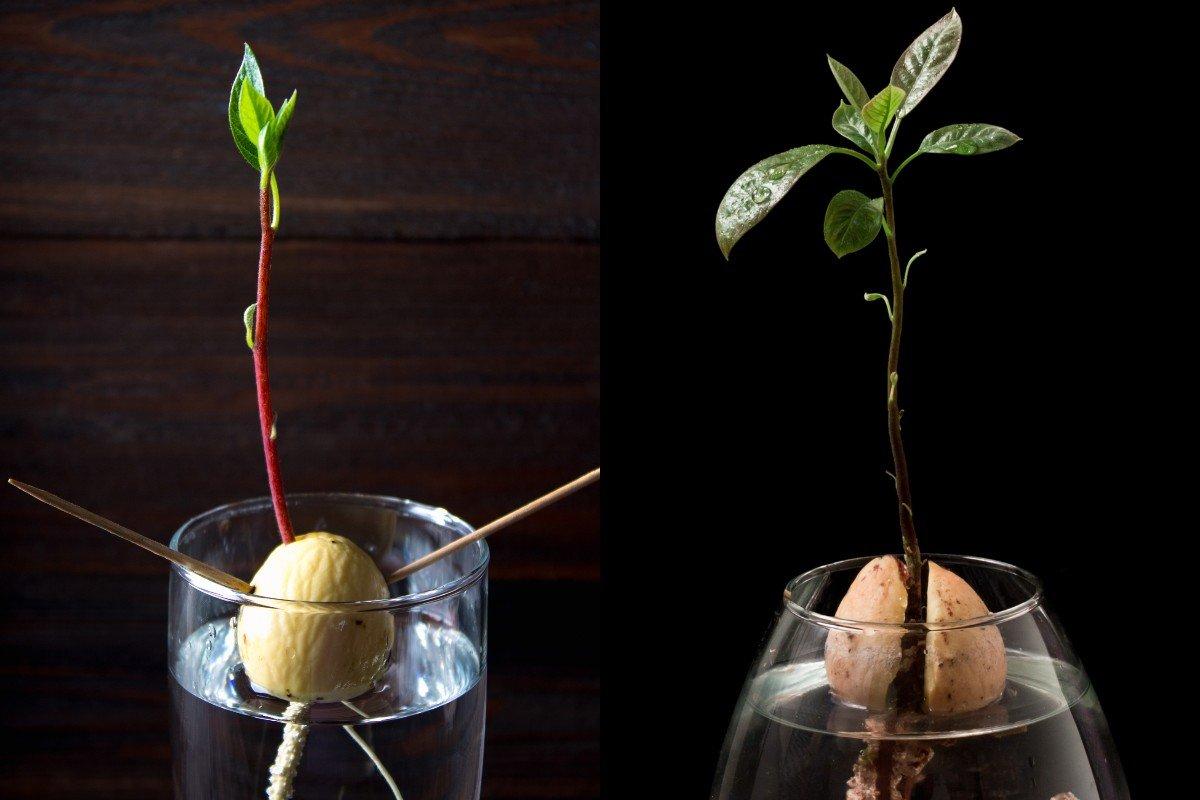 Как прорастить авокадо из косточки фото очень живописное