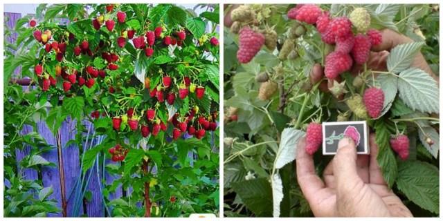 Невероятный урожай: малиновое дерево. Как вырастить самим?