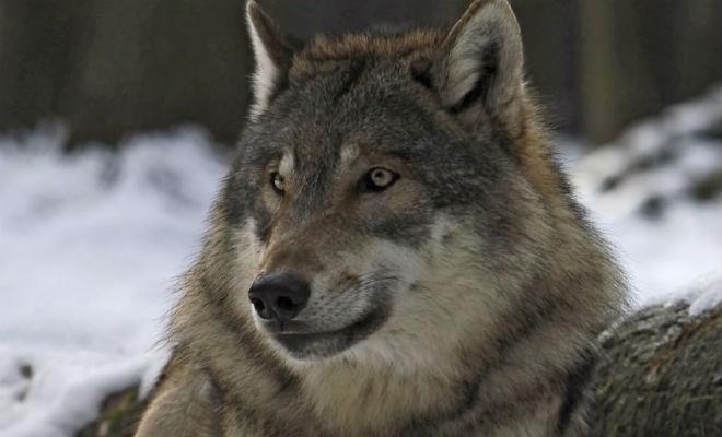 Волк упал в овраг, но на помощь пришел лесник. Через год волк вернулся и снова позвал к оврагу Культура