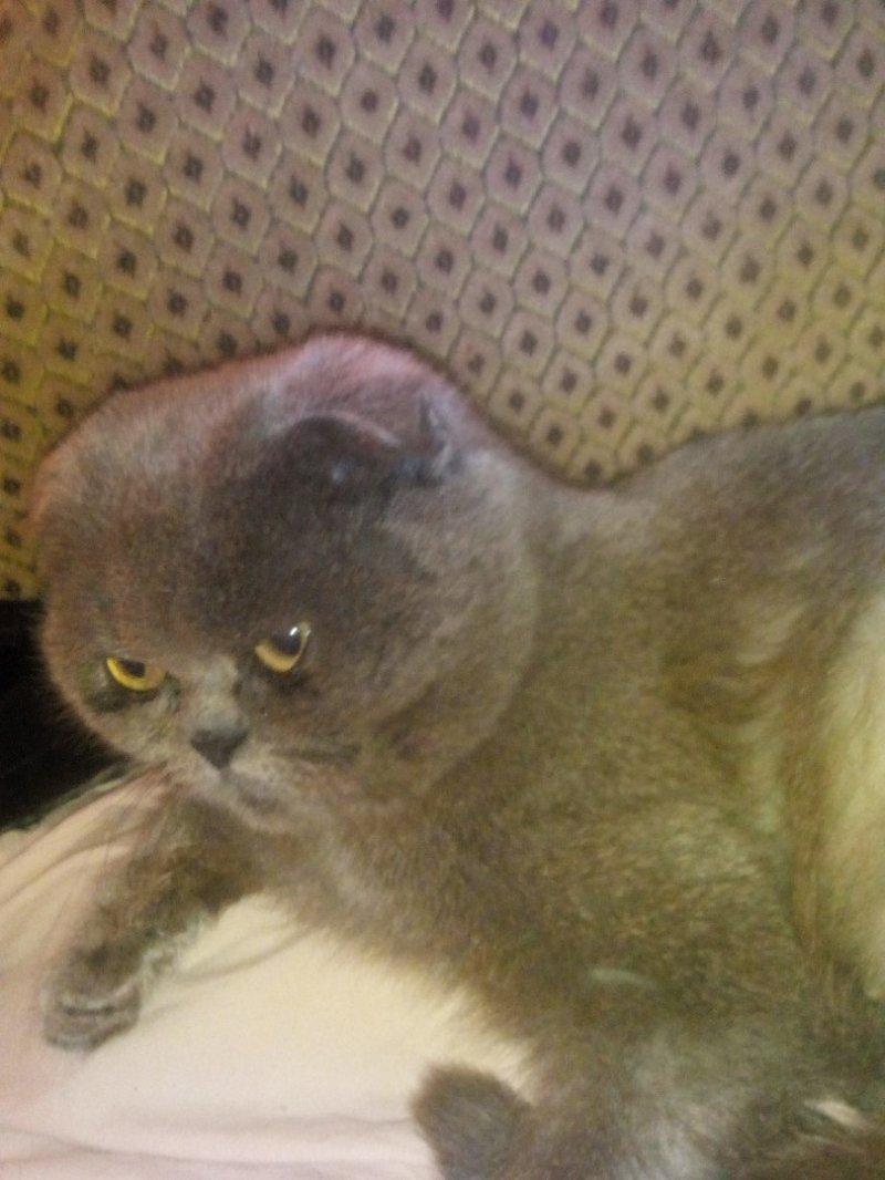 Истощенная вислоухая кошка голодными глазами смотрела на прохожих британская, вислоухая, кот, кошка, породистая кошка, шотландская