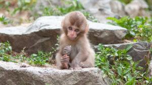 Как детёныш обезьяны стал «с…