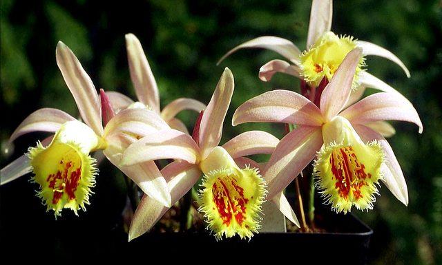 МИР РАСТЕНИЙ. Орхидеи из рода Плейоне