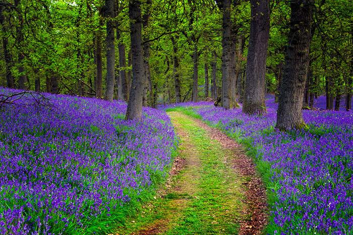 Дорога вдоль цветущей лаванды - одна из самых красивых в мире.