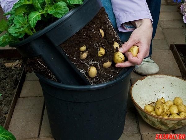 Выращиваем зимой молодую картошечку под... кроватью