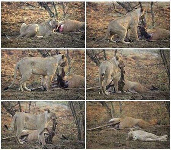 Львица напала на беременную антилопу