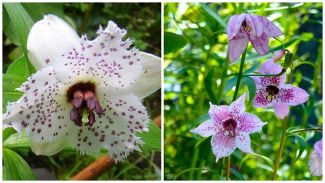 МИР РАСТЕНИЙ. Номохарис - альпийская лилия