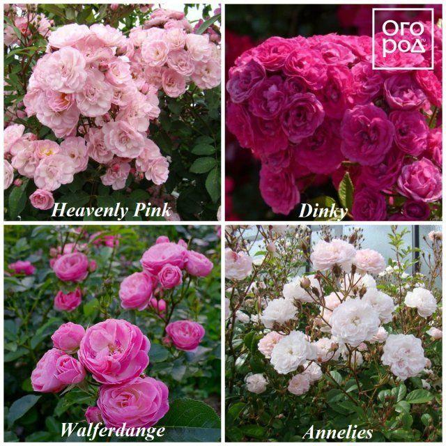 Розы Ленс