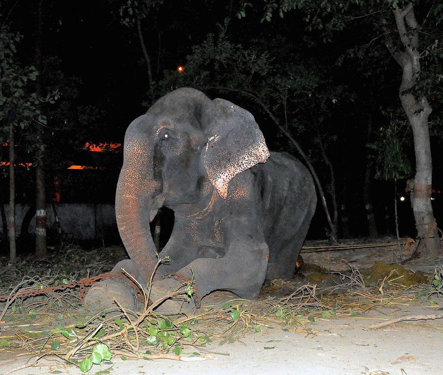Как плакал слон Раджу, спасённый после 50 лет издевательств