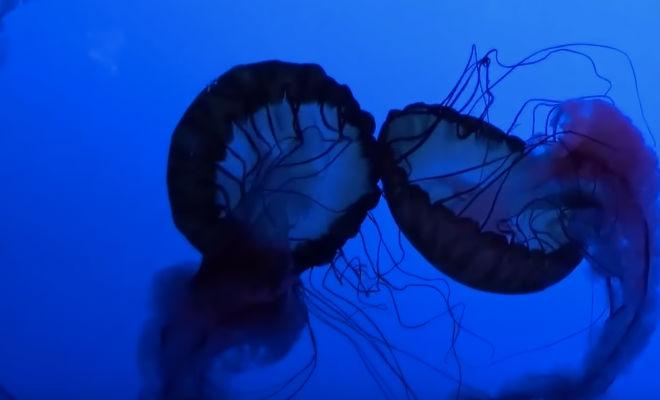 Странные существа из «мертвой зоны» океана звук,кальмар,море,наука,океан,Пространство