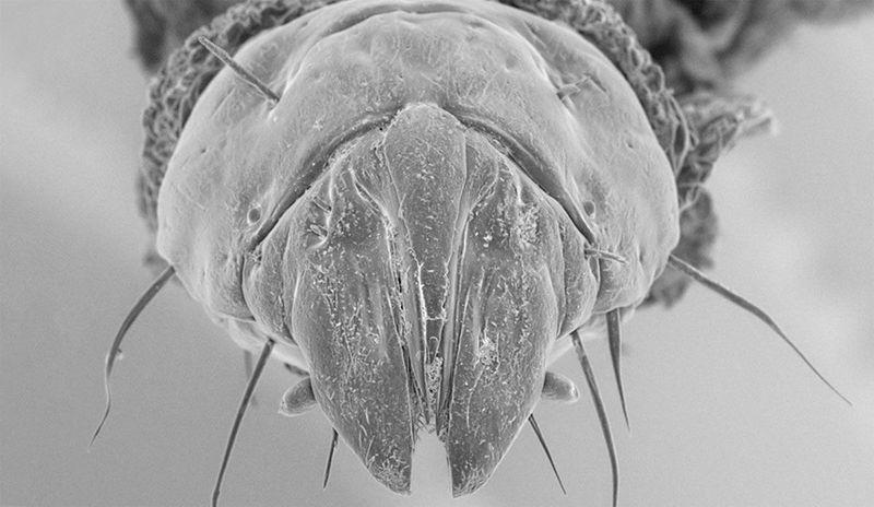 Жестокие личинки австралийских мух-убийц