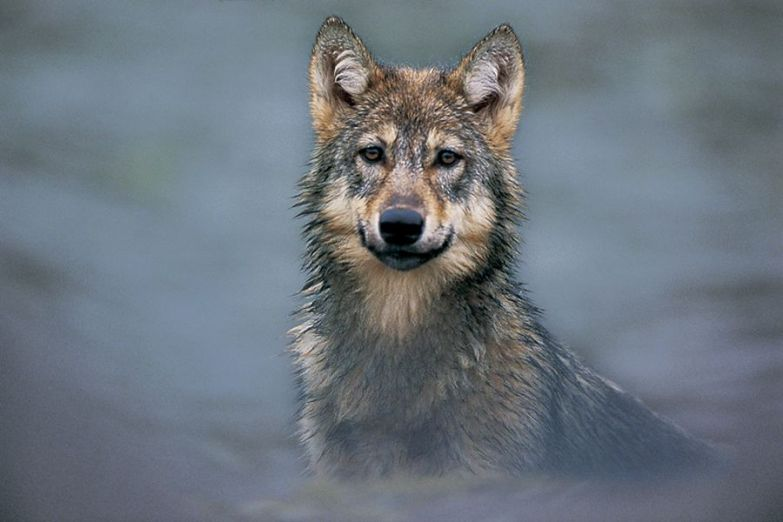 Мужик и Волк