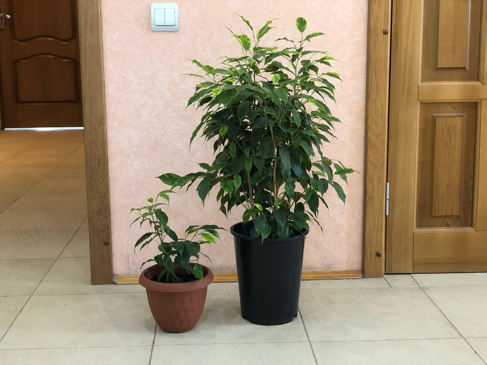 Как меньше чем за год вырастить фикусовое дерево комнатные растения