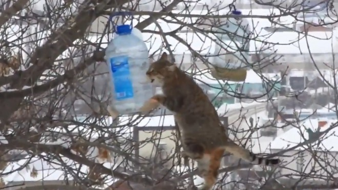 Воронежский кот-экстремал ворует сало из кормушек на деревьях
