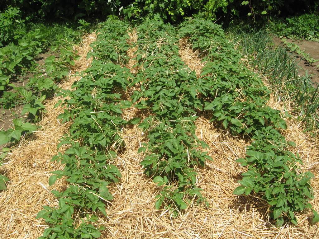 Картофель под соломой. Посадка, выращивание, условия