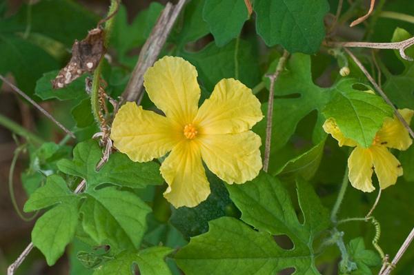 цветы момордики