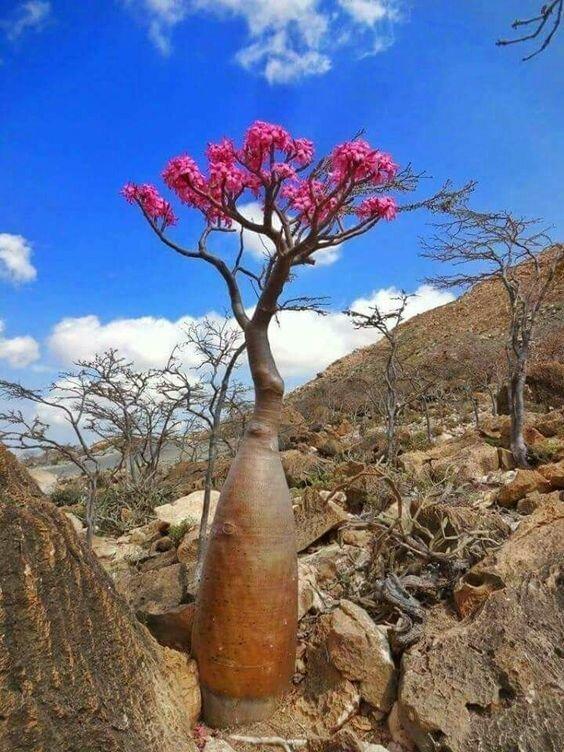 """Adenium obesum (бутылочное дерево) """"голые"""", интересное, красота, природа, растения, факты"""