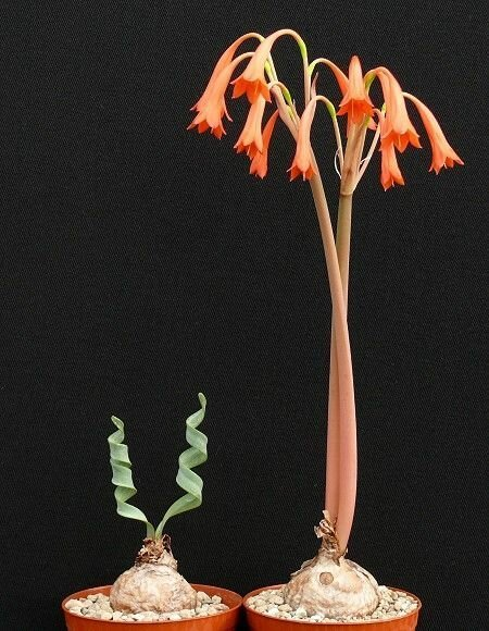 """Cyrtanthus spiralis """"голые"""", интересное, красота, природа, растения, факты"""