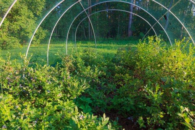 Памятка: Календарь ухода за садовой голубикой с весны до осени садоводство