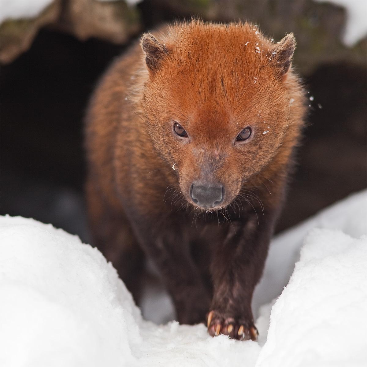 В Новосибирский зоопарк привезли собаку, которую считали вымершим видом