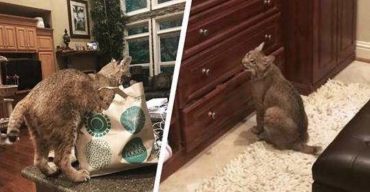 Только похож на кота: спасение животного неизвестной породы